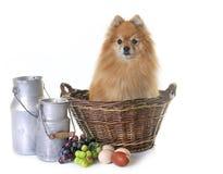 Pomeranian spitz in the farm royalty free stock photography