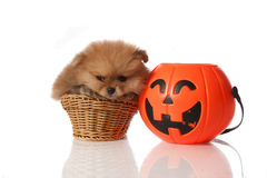 Pomeranian Spitz with Halloween basket Royalty Free Stock Photos