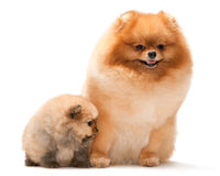 Pomeranian spitz and his puppy Royalty Free Stock Image
