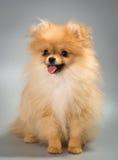 Pomeranian spitz-hond in studio stock afbeelding