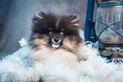 Pomeranian-Spitz-Hundewelpe in den Girlanden auf Weihnachten oder neuem Jahr stockbilder