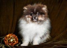 Pomeranian-Spitz-Hundewelpe mit Ball des neuen Jahres auf Weihnachten oder neuem Jahr stockfotografie