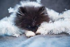 Pomeranian-Spitz-Hundewelpe schläft in den Girlanden lizenzfreies stockfoto