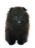 Pomeranian spitz i studio royaltyfria foton
