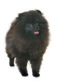 Pomeranian spitz i studio fotografering för bildbyråer