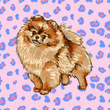 Pomeranian Spitz Royalty Free Stock Photos