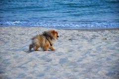 Pomeranian Spitz little dog royalty free stock image