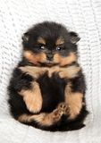 Pomeranian Spitz lying with paws up. On a white blanket Royalty Free Stock Photo