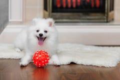 Pomeranian spitz med hundleksaken royaltyfri foto