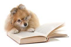 Pomeranian spitz och böcker royaltyfri fotografi