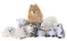Pomeranian spitz och keliga leksaker Arkivbild