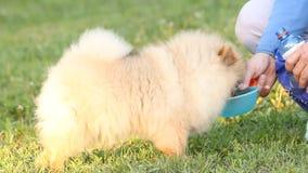 Pomeranian spitz stock video footage