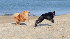 Pomeranian Spitz is played with the Miniature Schnauzer stock images