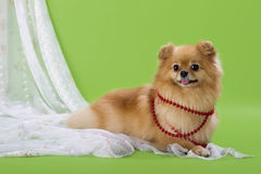 Pomeranian spitz Royalty Free Stock Images