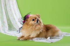 Pomeranian spitz Royalty Free Stock Photography