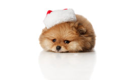 Pomeranian Spitz puppie in Santa hat. Cute and sad Pomeranian Spitz  two months old puppie dressed in Santa hat lying . Studio shoot isolated Royalty Free Stock Photos
