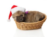 Pomeranian Spitz puppie in Santa hat. Pomeranian Spitz  two months old puppie dressed in Santa hat lying in wicker. Studio shoot isolated Stock Photo