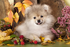 Pomeranian spitz. Puppies and autumn leaves Royalty Free Stock Image