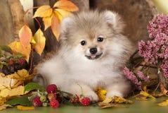 Pomeranian spitz Royalty Free Stock Image