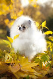 Pomeranian spitz. Puppies and autumn leaves Royalty Free Stock Images