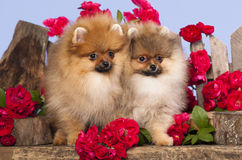 Pomeranian spitz. Puppies and flowers roses Stock Images