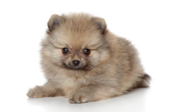 Pomeranian spitz puppy royalty free stock images