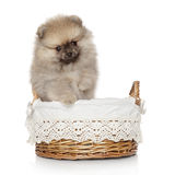 Pomeranian spitz puppy in basket Stock Photography
