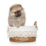 Pomeranian spitz puppy in basket Stock Photography