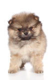 Pomeranian spitz puppy close-up portrait Stock Photo