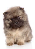 Pomeranian spitz puppy close-up portrait Royalty Free Stock Photo