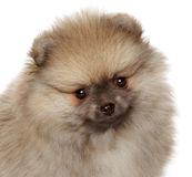 Pomeranian Spitz puppy. Close-up portrait Stock Photo