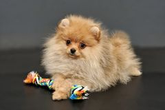 Pomeranian Spitz puppy with colorful rope toy. Long haired red Pomeranian Spitz puppy with colorful rope toy on a black isolated background stock photography