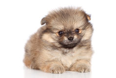 Pomeranian spitz puppy lying Royalty Free Stock Image