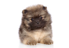 Pomeranian spitz puppy lying Royalty Free Stock Photos