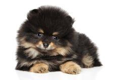 Pomeranian Spitz puppy 2 month. Pomeranian Spitz puppy lying on white background. Baby animal theme royalty free stock photo