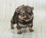 Pomeranian spitz Stock Photo
