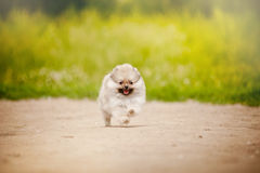 Pomeranian Spitz puppy running Royalty Free Stock Photo