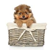 Pomeranian Spitz puppy in basket on white Stock Image