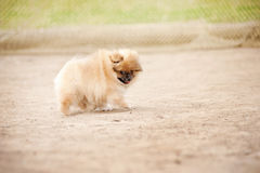 Pomeranian Spitz puppy Royalty Free Stock Images