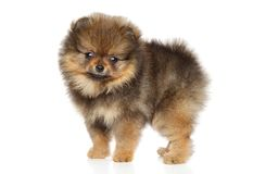 Pomeranian Spitz puppy. Baby animal theme. Pomeranian Spitz puppy in stand on white background. Baby animal theme Royalty Free Stock Photo