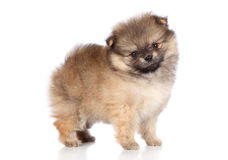 Pomeranian spitz puppy standing Stock Photos