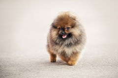 Pomeranian Spitz puppy walking Stock Images