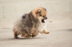 Pomeranian Spitz puppy walking Royalty Free Stock Photo