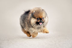 Pomeranian Spitz puppy walking Royalty Free Stock Photography