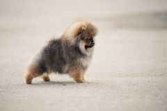 Pomeranian Spitz puppy walking Royalty Free Stock Images