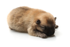 Pomeranian Spitz puppy on a white background Stock Images