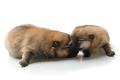 Pomeranian Spitz puppy on a white background Stock Image