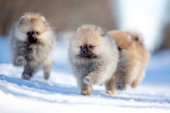 Spitz puppy Royalty Free Stock Photo