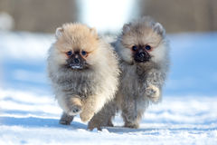 Spitz puppy Royalty Free Stock Images