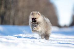 Spitz puppy. Pomeranian spitz puppy in winter forest on road Royalty Free Stock Image